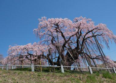X-T3で撮影の三春滝桜の満開見頃の写真