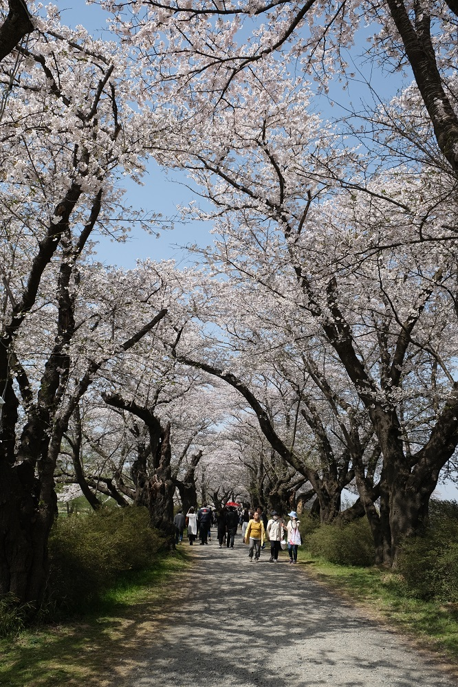 X-T3作例・北上展勝地の桜でのレビュー!