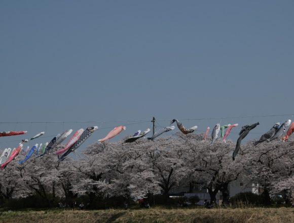 X-T3レビュー!展勝地の桜を川から見た風景!