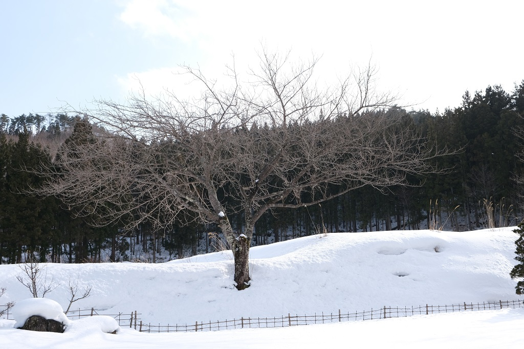 x-t3で撮影1月の庭の桜の木の写真
