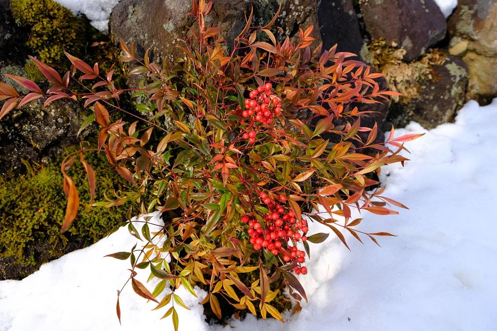 x-t3で撮影1月の庭の南天の実の写真
