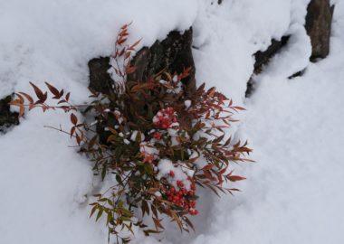 x-t3で撮影1月の庭の雪をかぶった南天の赤い実の写真。