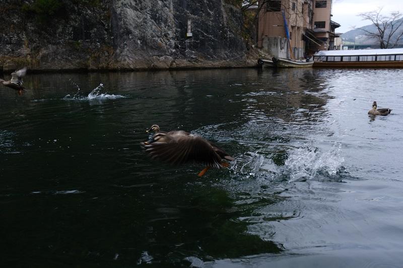 猊鼻渓のカモの写真