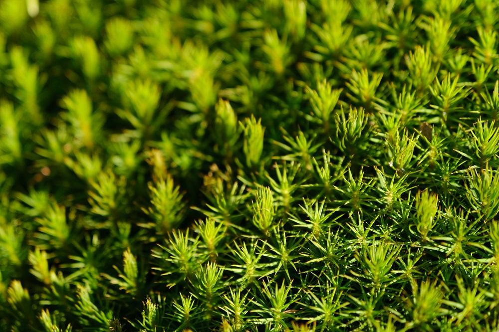 16-80㎜杉苔の接写