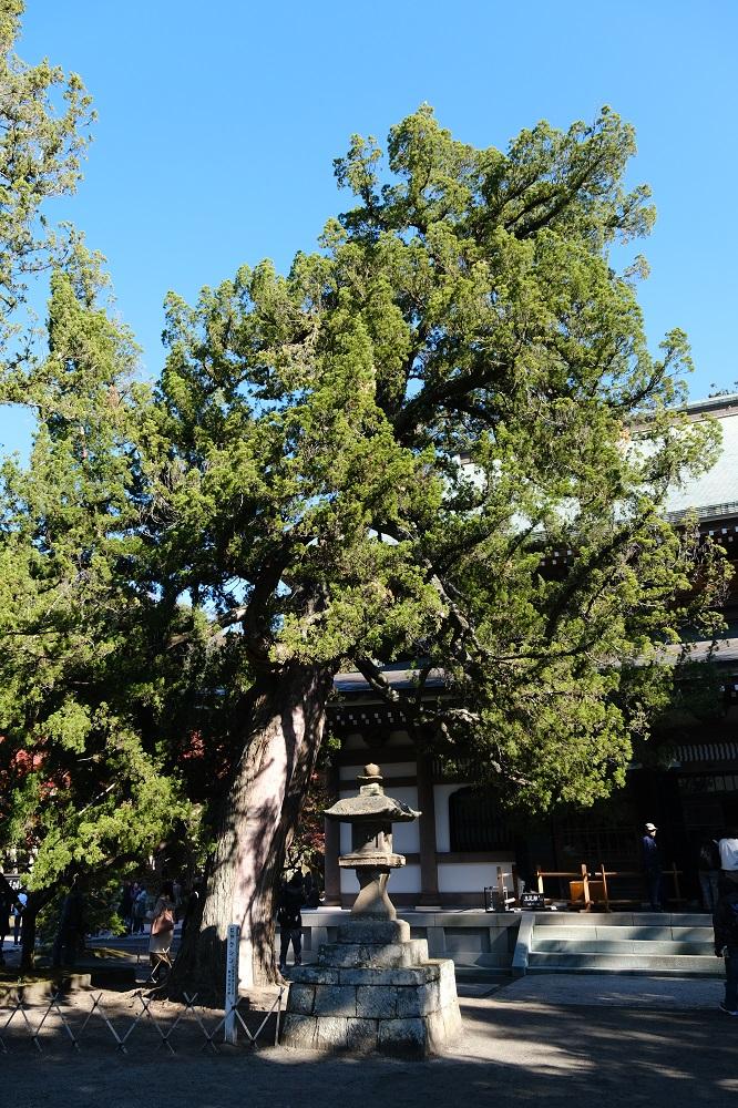 円覚寺の正面わきの大木と灯篭