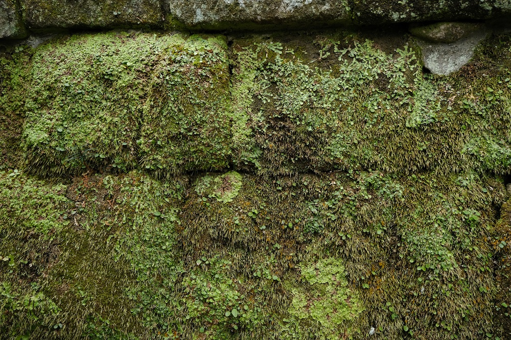 寿福寺の本殿の石垣の苔の写真