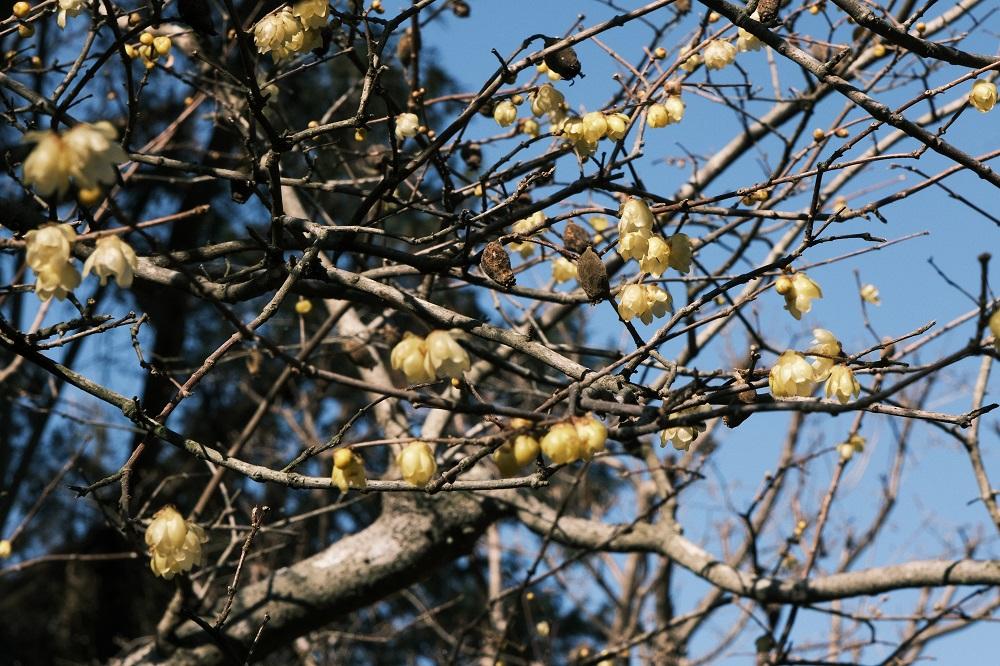 明月院1月の蝋梅の花の開花状況