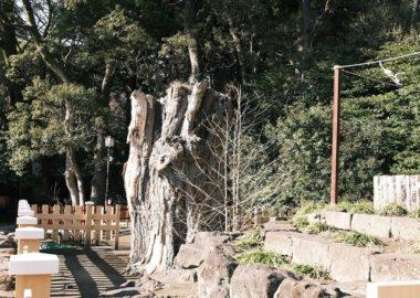 鶴岡八幡宮の大銀杏の写真