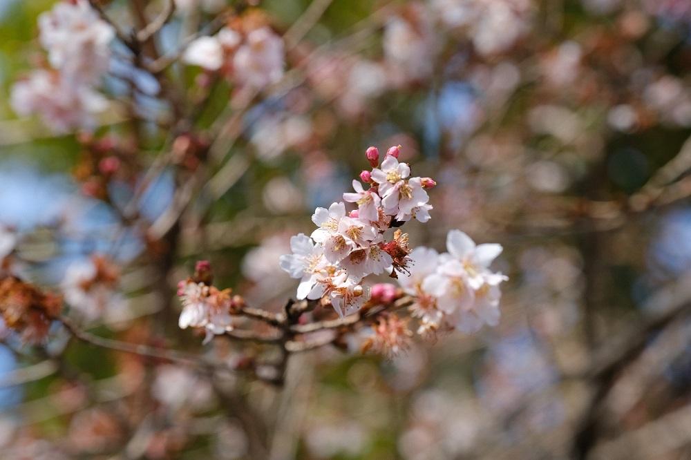 塩竃神社の冬2月の桜の花の写真