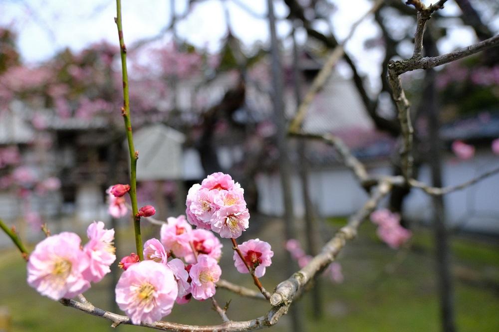 臥竜紅梅のピンク色の花