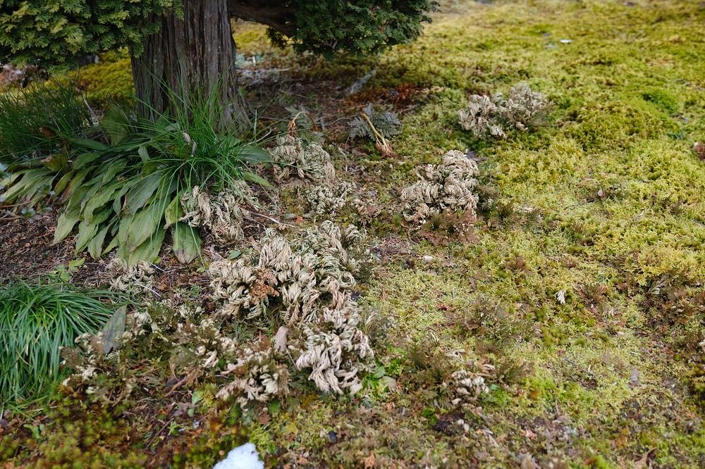 庭のイワヒバの写真