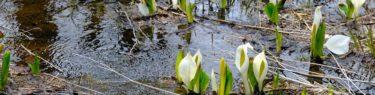 栗駒山の水芭蕉が咲いてる遊歩道の風景の写真