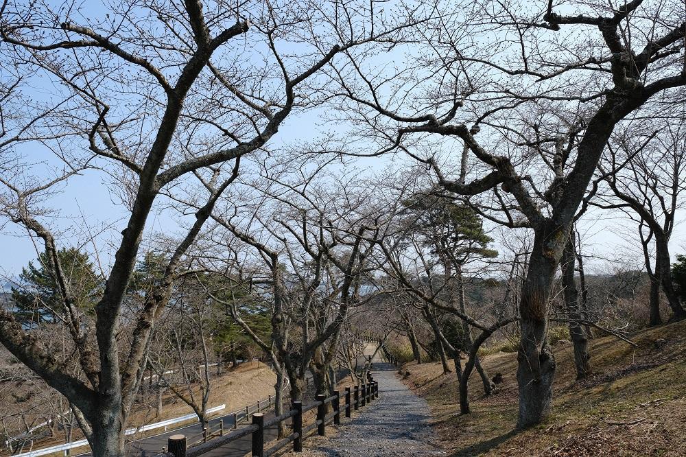 西行戻しの松公園の春の桜が咲く直前のつぼみの風景写真