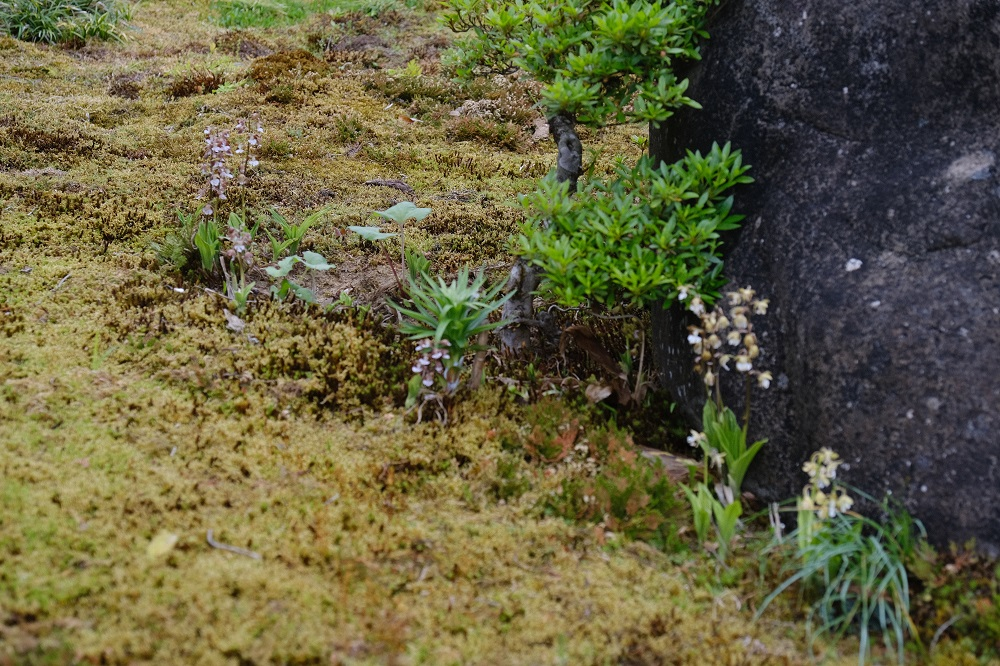 x-pro3の作例・庭のエビネの満開の花の写真
