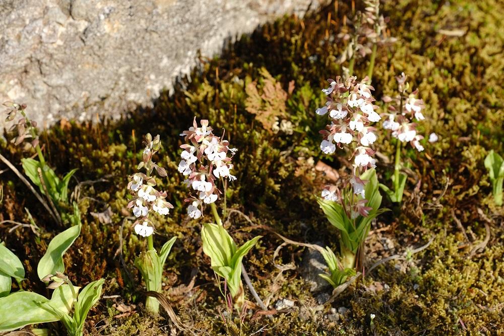 エビネランの花の写真