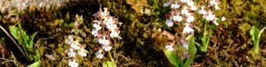 エビネランの咲き初めの写真