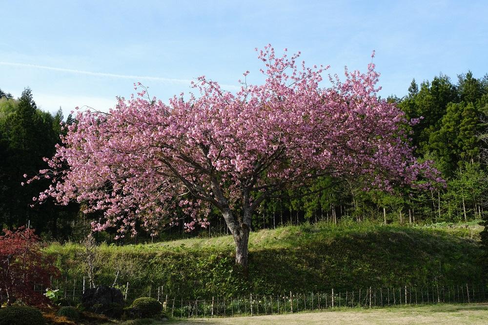 庭の桜の風景写真