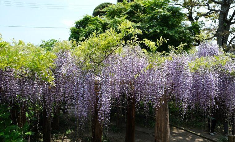 藤の花の名所子平町の藤の花の見事な写真