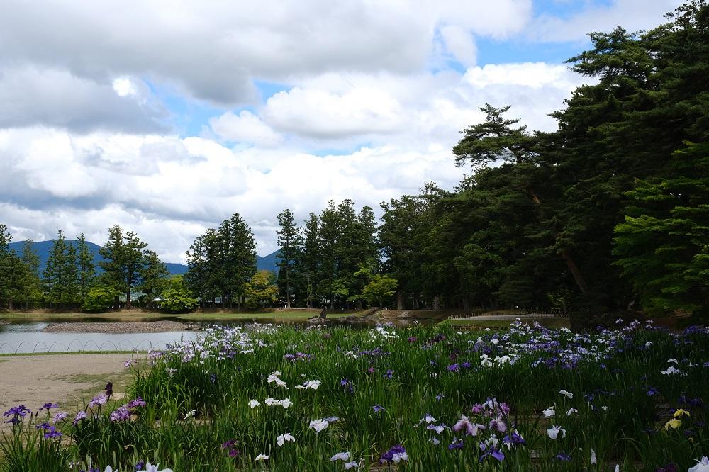 毛越寺のアヤメの写真