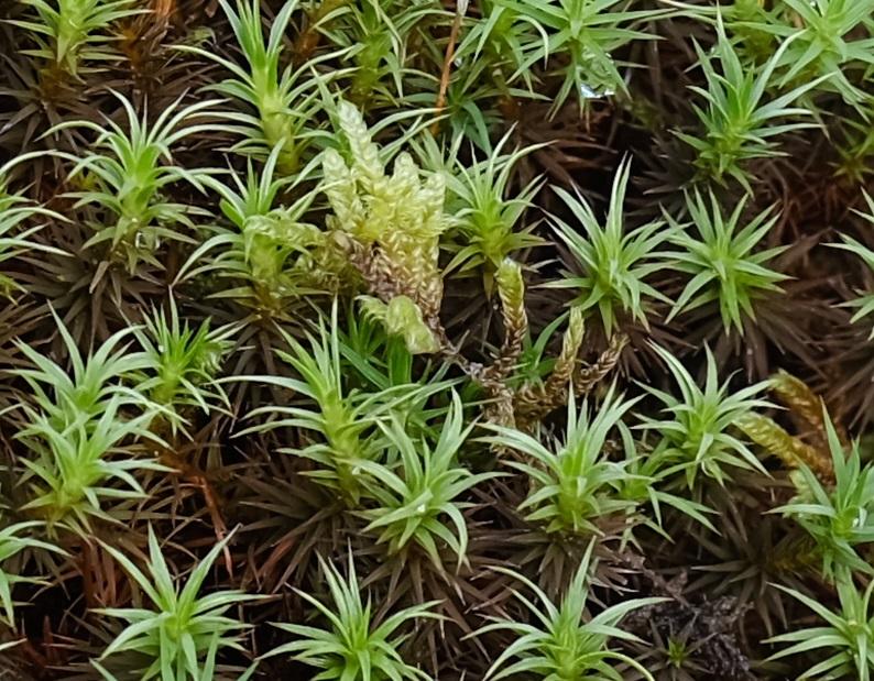 16-55F2.8で撮影した杉苔の写真