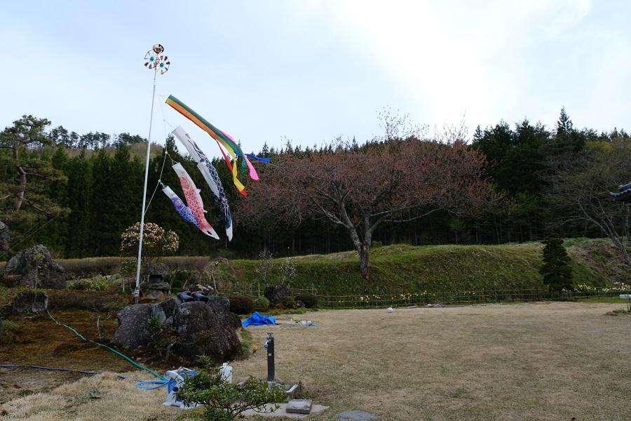 鯉のぼりと桜の木の写真
