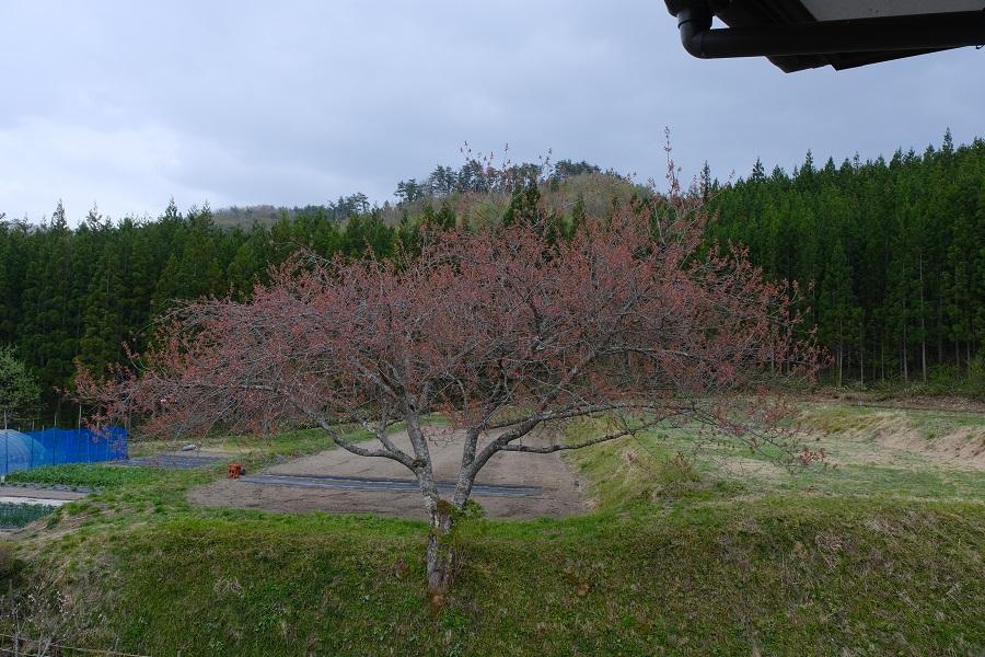 我が家に咲いている八重桜の写真