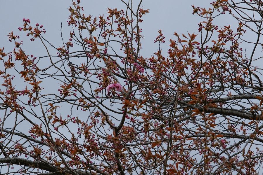 ようやく咲いた八重桜の1輪の花