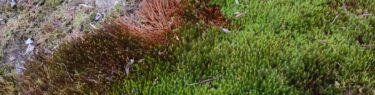庭のスギゴケの春の写真