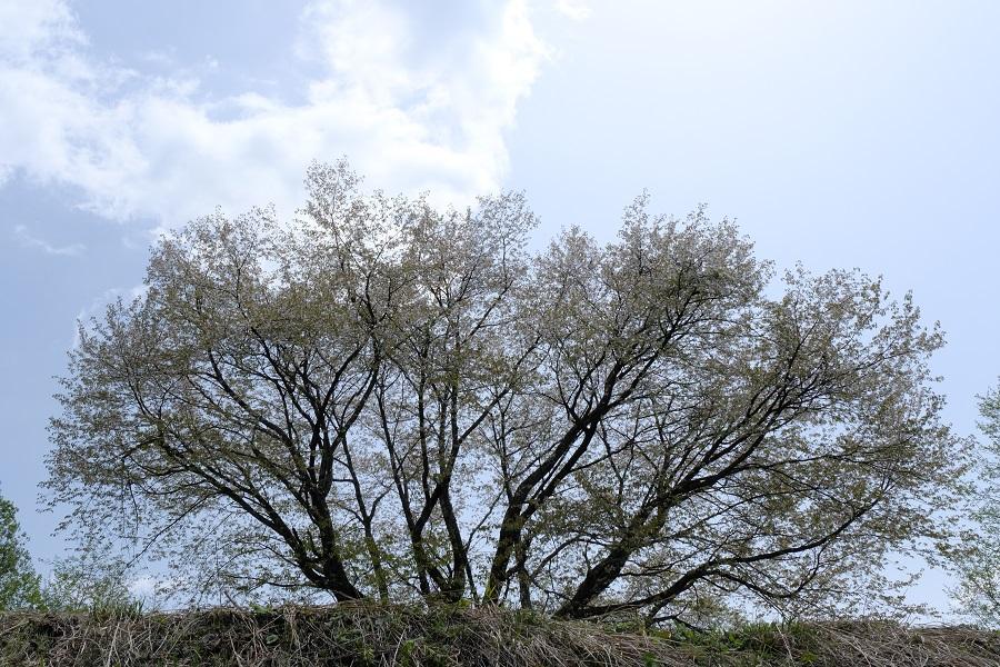 日本一(自称)のマメサクラの写真