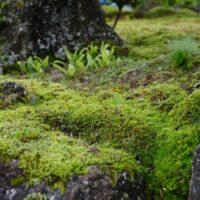 スギゴケの8月の風景写真